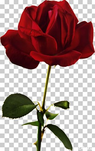 Beach Rose Flower Red PNG