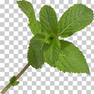 Leaf Herb Branch PNG