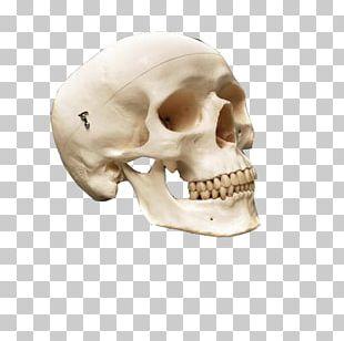 Human Skull Anatomy Human Skeleton Bone PNG