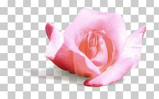 Garden Roses Cabbage Rose Petal Cut Flowers Pink M PNG
