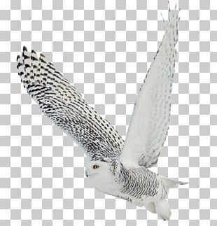 The White Owl Black-and-white Owl Bird Barred Owl Snowy Owl PNG
