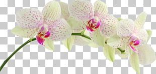 Orchids Desktop Display Resolution Singapore Orchid 1080p PNG