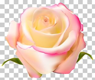 Garden Roses Beach Rose Centifolia Roses PNG