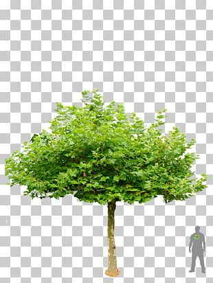 London Plane Tree Garden Shrub Roof PNG
