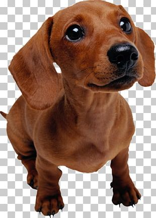 Dachshund Puppy Pet Dog Training Veterinarian PNG