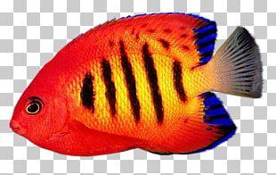 Reef Aquarium Desktop Flame Angelfish PNG