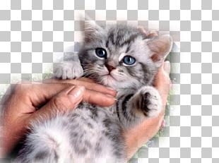 Sphynx Cat British Shorthair Donskoy Kitten Cat Food PNG