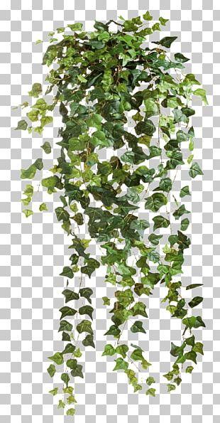 Common Ivy Vine PNG