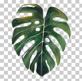 Swiss Cheese Plant Drawing Watercolor Painting Botany Leaf PNG