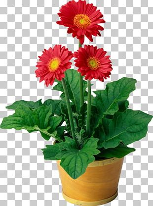Flowering Plant Flowering Plant Transvaal Daisy Houseplant PNG