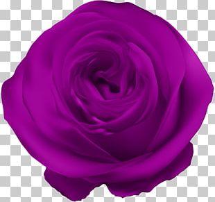 Garden Roses Centifolia Roses Petal Violet PNG