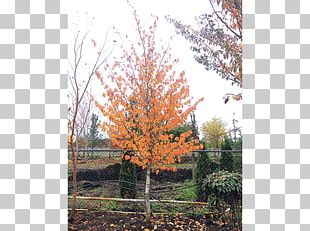 Sugar Maple Tree Shrub Autumn Leaf Color Deciduous PNG