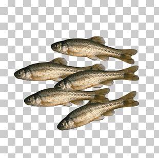 Sardine Fish Products Bait Common Minnow Fish Stringer PNG