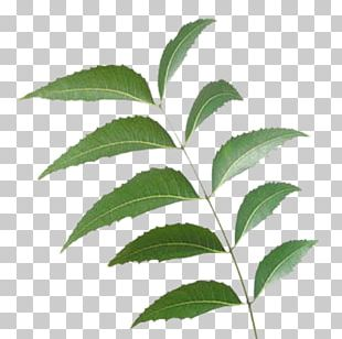 Neem Tree Neem Oil India Manufacturing PNG