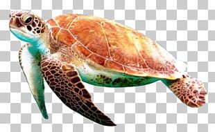 Box Turtle Reptile PNG