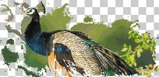 Duck Fauna Galliformes Beak Feather PNG