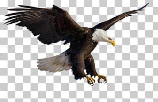 Bald Eagle Bird Portable Network Graphics Flight PNG