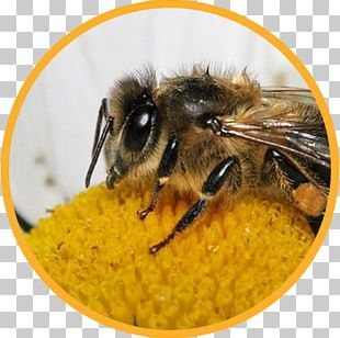 Honey Bee Bumblebee Bee Pollen Insect PNG