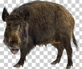 Wild Boar Stock Photography Brown Bear Stock.xchng PNG