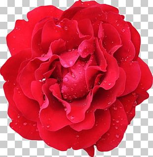 Garden Roses Cabbage Rose Flower Floribunda Red PNG