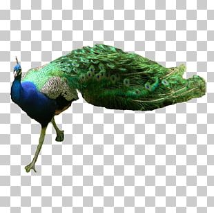 Asiatic Peafowl Green Peafowl PNG