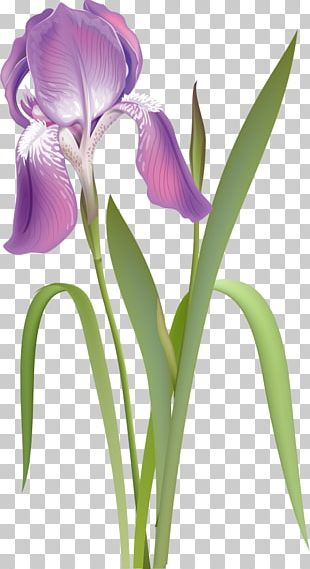 Orris Root Irises Cut Flowers Purple White PNG