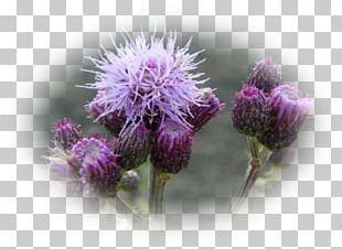 Thistle Cardoon Greater Burdock Outer Space Universe PNG