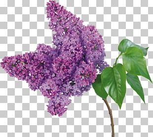 Lilac Flower Bouquet Branch Petal PNG