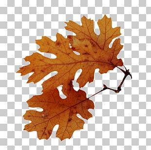 Autumn Leaf Color Tree American Sweetgum Quercus Nigra PNG