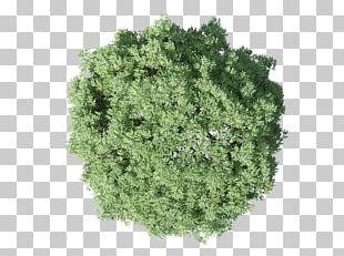 Populus Nigra Tree Plan PNG