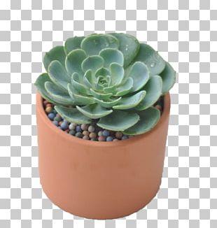 Echeveria Graptopetalum Paraguayense Succulent Plant Bonsai PNG
