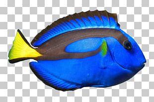 Palette Surgeonfish Coral Reef Fish Ocellaris Clownfish PNG