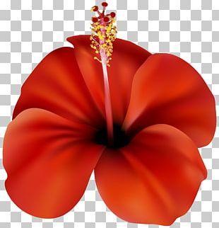 Flower Red Rose PNG