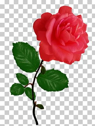 Garden Roses Cabbage Rose Red Floribunda PNG