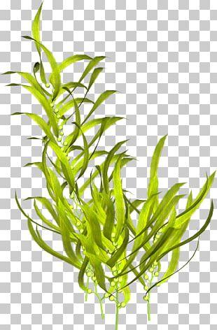 Aquatic Plants Seaweed Algae PNG