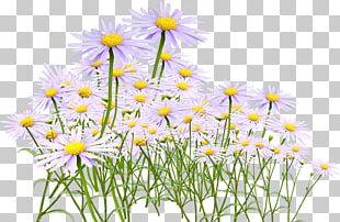 Chrysanthemum Tea Oxeye Daisy Yellow PNG