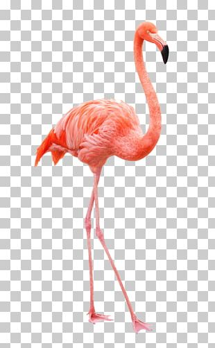 Flamingo Drawing Stock Photography PNG