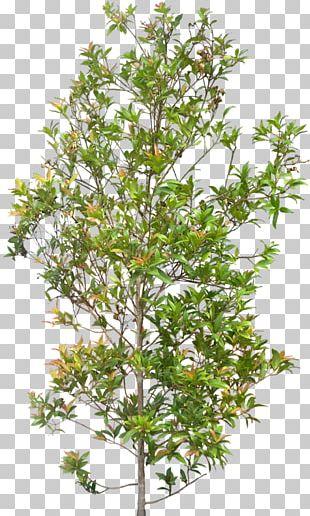 Syzygium Paniculatum Plant Shrub Tree PNG