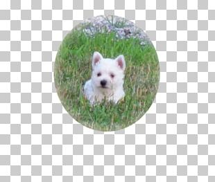West Highland White Terrier Maltese Dog Puppy Dog Breed PNG