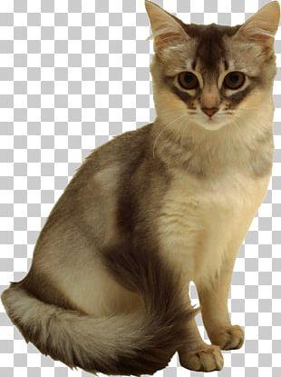 Felidae Kitten Norwegian Forest Cat Domestic Short-haired Cat PNG