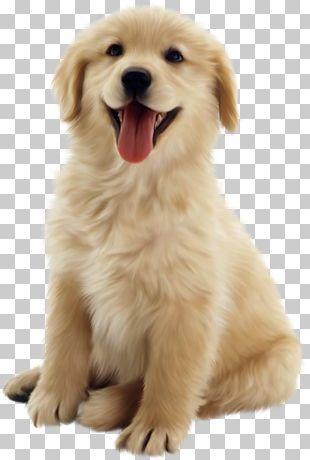 Golden Retriever Puppy Pet PNG