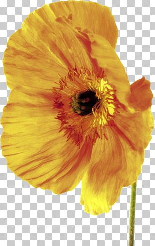 Poppy Depth Of Field Flower Stock Photography PNG