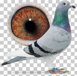 Racing Homer Columbidae Homing Pigeon Pigeon Racing Bird PNG