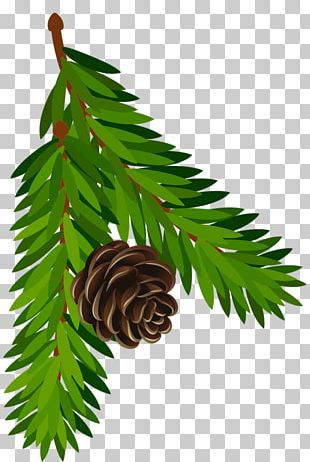 Conifer Cone Pine Branch Fir PNG