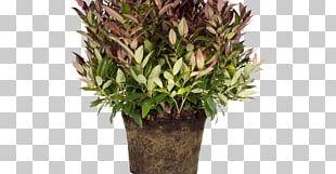 Leucothoe Fontanesiana Leucothoe Axillaris Shrub Garden Tree PNG