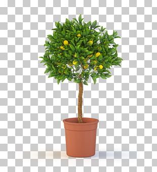 Tree Topiary Weeping Fig Container Garden Shrub PNG