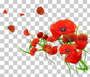 Remembrance Poppy Flower Common Poppy PNG
