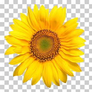 Common Sunflower Yellow Stock Photography PNG