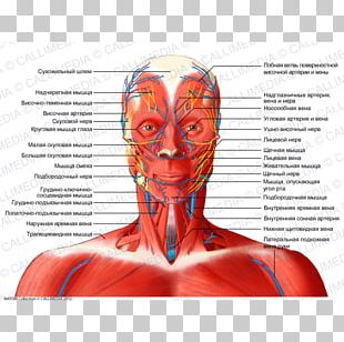Anterior Triangle Of The Neck Head And Neck Anatomy Muscle Coronal Plane PNG