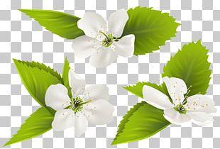 Jasmine Flower PNG